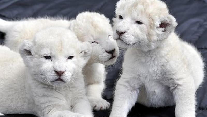 FOTO! 5 dintre cele mai scumpe animale de companie din lume