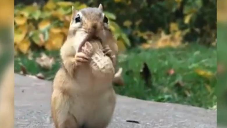 Arahida buclucașă, o provocare mult prea mare pentru o veveriță