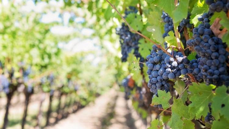 Viticultorii francezi transformă vinul în gel dezinfectant, pentru a-și salva afacerile