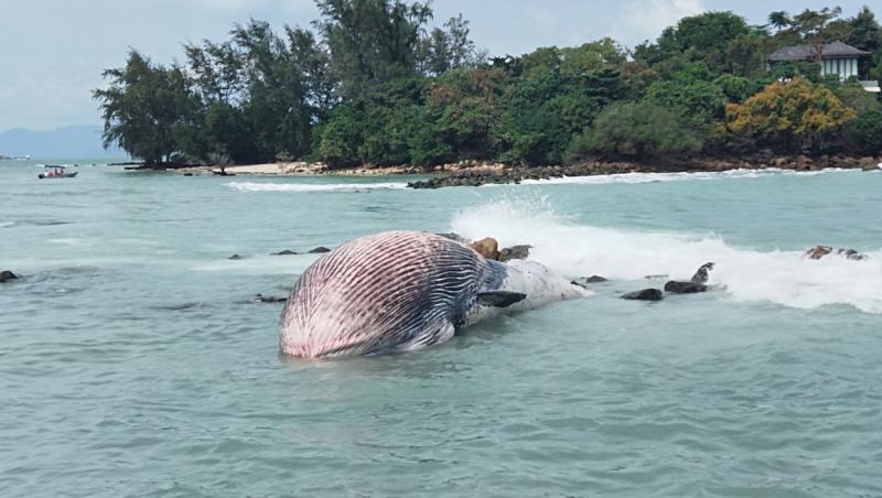 balena bryde care sta in fata in jos dupa ce a esuat pe o plaja din thailanda