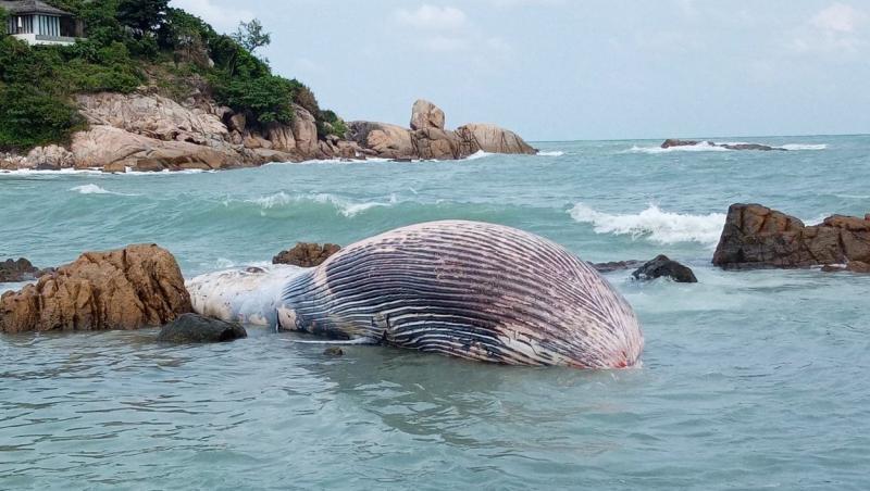 balena bryde cu burta in sus direct in apa unde a murit