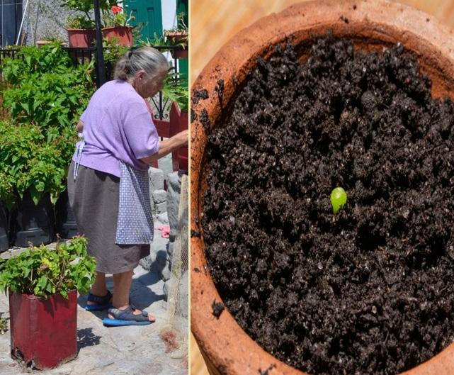O bătrână a plantat o sămânță în ghiveci, dar în scurt timp a trăit o surpriză uriașă. Peste ce a dat