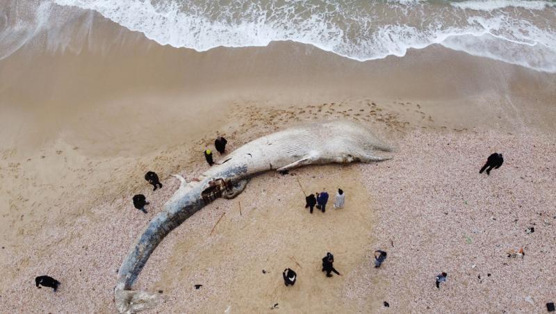 balena intinsa pe plaja, adusa la mal de apa otravita cu gudron