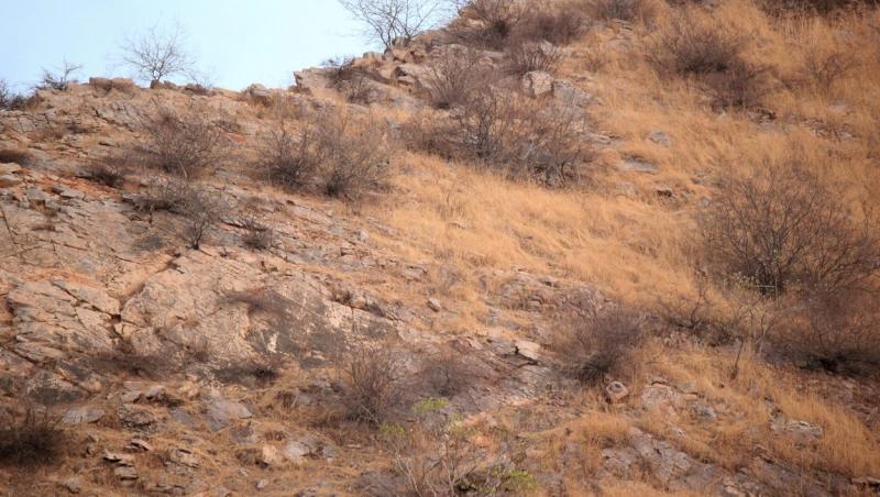 O fotografie cu un leopard s-a transformat într-o iluzie optică de senzație