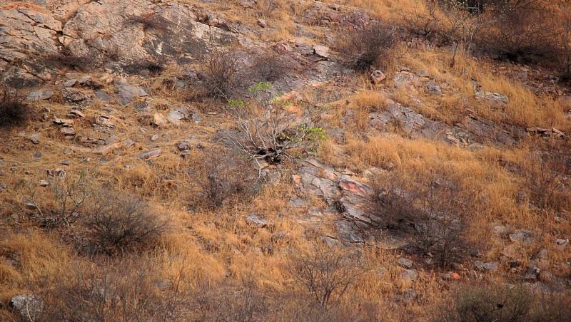 Imaginea cu un leopard perfect camuflat s-a transformat într-o iluzie optică de senzație