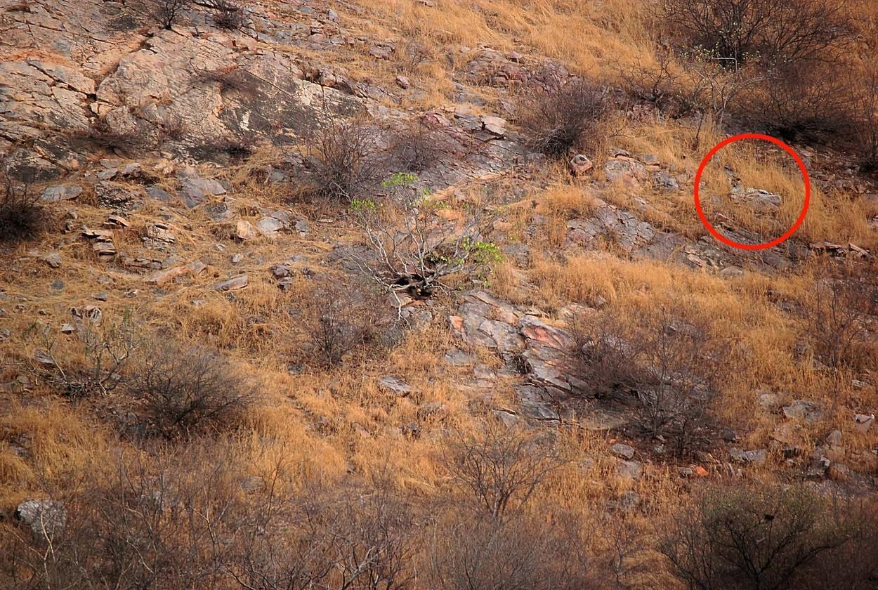 imaginea cu leopardul camuflat in natura