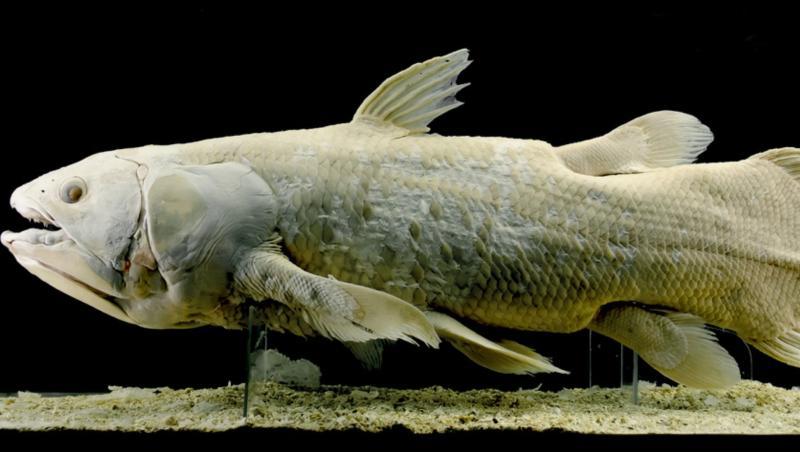 Celacantul ar putea trăi la mare adâncime până la 100 de ani, de cinci ori mai mult decât se credea anterior