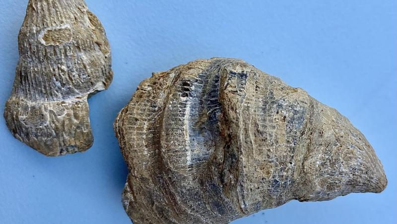 fosila descoperita de Siddak Singh Jhamat