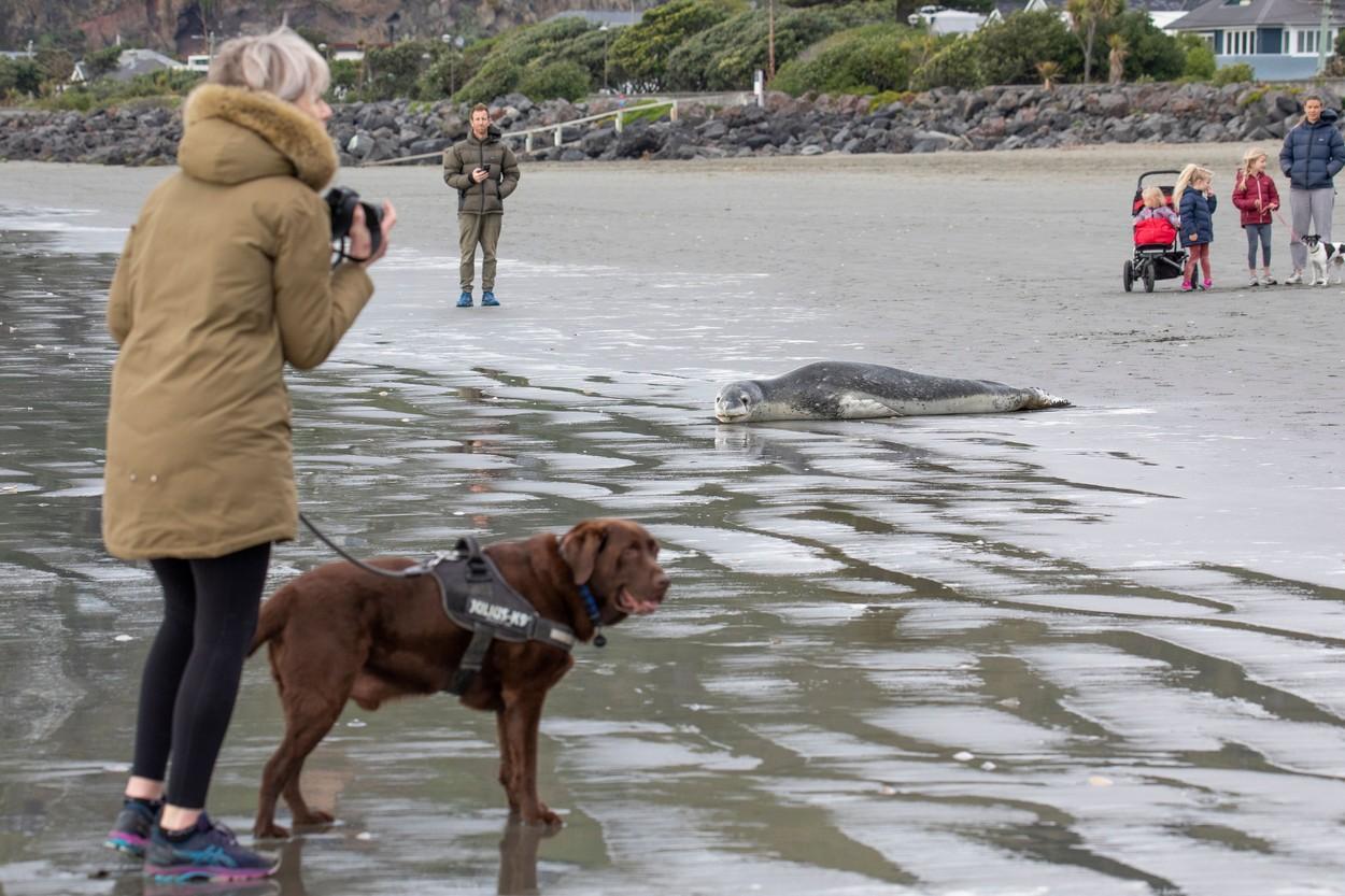 O focă a eșuat pe o plajă din Noua Zeelandă și a atras sute de oameni care au venit să o fotografieze