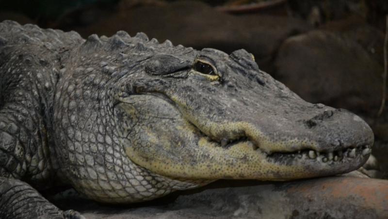 imagine cu un aligator