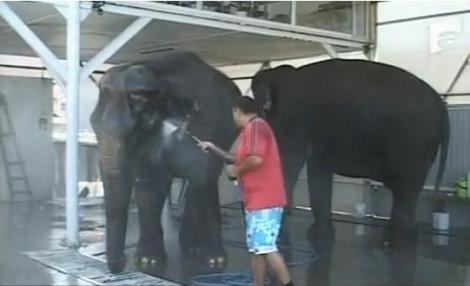 VIDEO Cu elefantii, la spalatoria auto!