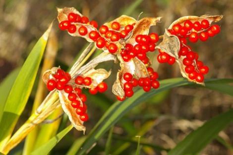 Iris Foetidissima, o planta pentru gradini delicate