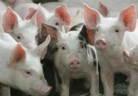 ANSVSA: Carnea cu dioxina din Germania nu a ajuns in Romania