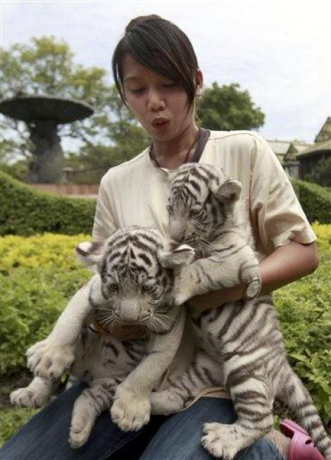 VIDEO! Copiii din Thailanda isi sarbatoresc ziua alaturi de tigri albi