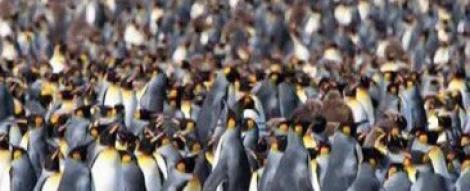 VIDEO! Sute de mii de pinguini pe insula St. George din Oceanul Atlantic