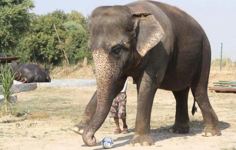 FOTO! Maya, elefantul care l-ar face gelos chiar si pe Ronaldo!