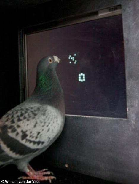 Porumbeii, capabili sa numere la fel ca oamenii si primatele