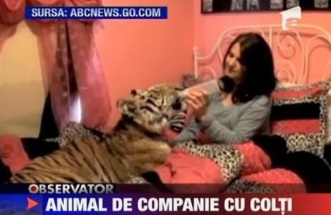 VIDEO! O tanara traieste cu un tigru bengalez in pat
