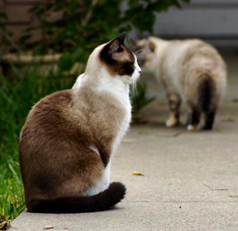 Rinotraheita felina - boala care afecteaza pisicile