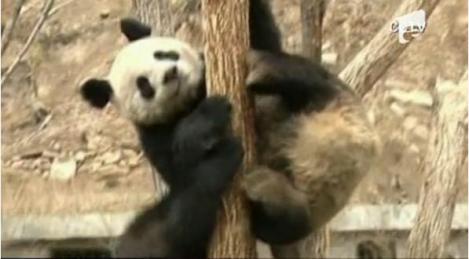 VIDEO! Vezi ce pot face trei ursi acrobati din China!