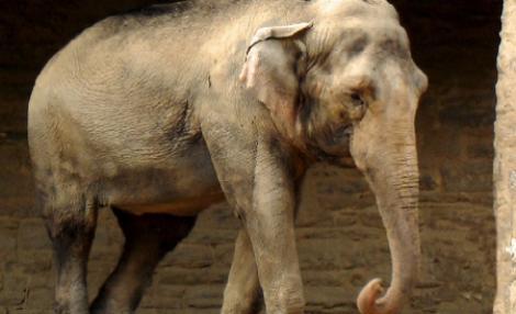 SOCANT! Ultimul elefant de circ din Marea Britanie, injunghiat si chinuit de un ingrijitor roman