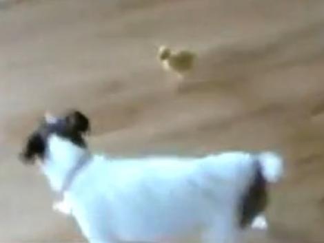 VIDEO! Caine fricos, alergat de un boboc de rata!