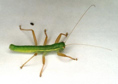 O noua specie de insecta carnivora, descoperita intr-o parcare pentru camioane