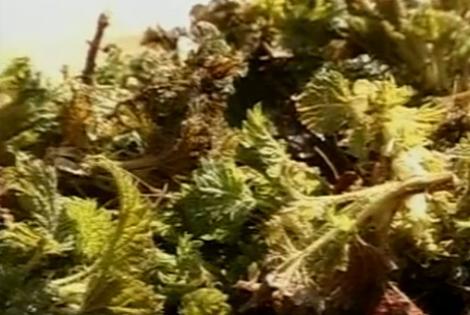 VIDEO! Urzica poate face minuni pentru organism