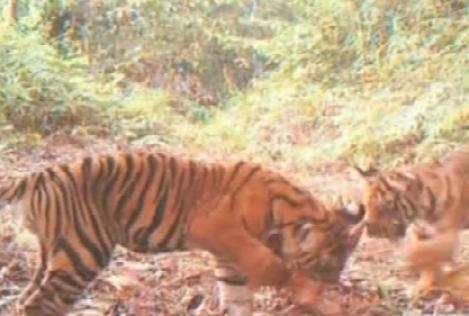 VIDEO! Tigri rari, filmati in jungla!