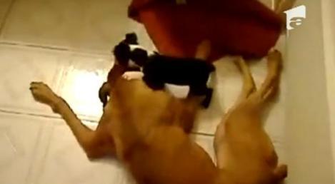 VIDEO! Vezi cel mai agresiv caine din lume!