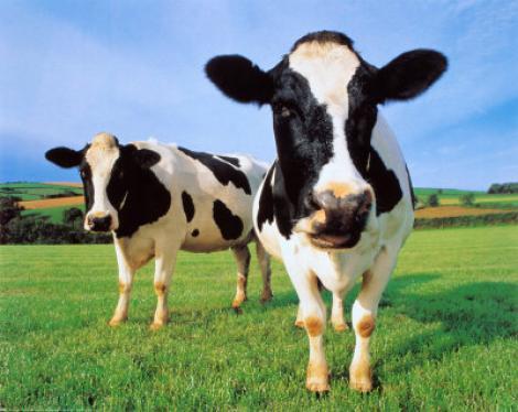Chinezii au inventat vaca cu lapte... uman