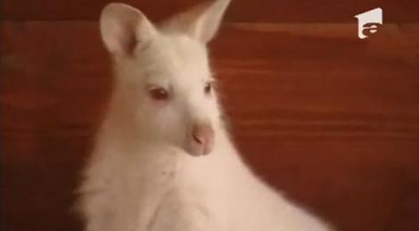 VIDEO! Un cangur alb cu ochii rosii - noua vedeta a unei ferme