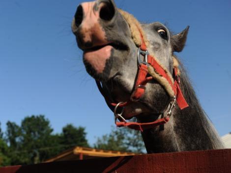 Un iesean si-ar putea pierde barbatia pentru ca l-a muscat calul de organul genital