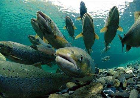 Arma mortala biologica: milioane de animale create sa-si distruga speciile