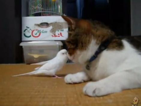 VIDEO! Vezi cum se joaca un papagal cu o pisica!