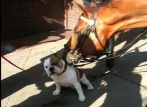 VIDEO! Un cal al politiei newyorkeze, topit dupa un bulldog
