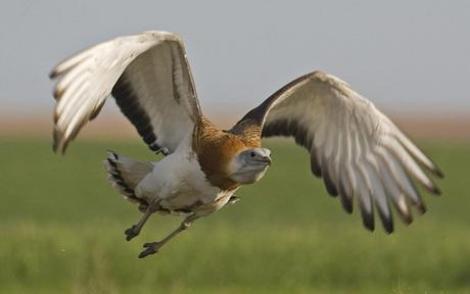 Buhaiul si alte specii date disparute care au revenit miraculos
