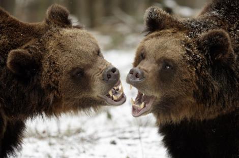 Aberatiile presei din Coreea de Nord: O familie de ursi a fost vazuta plangand, dupa moartea lui Kim Jong Il
