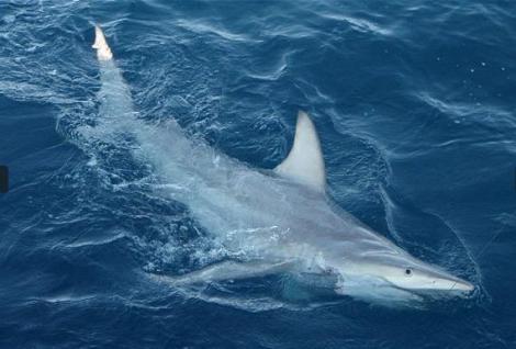 Primul rechin hibrid, descoperit in Australia