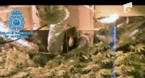 VIDEO! Sera de marijuana intr-un apartament din Spania