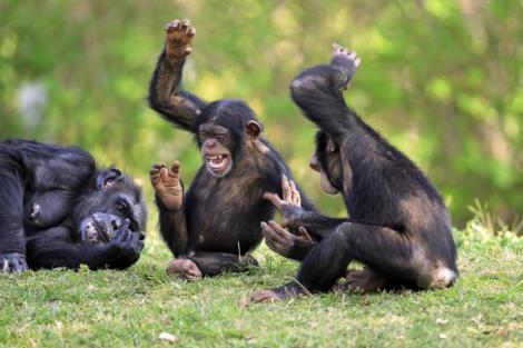 Studiu: Maimutele isi asuma riscuri la fel ca oamenii