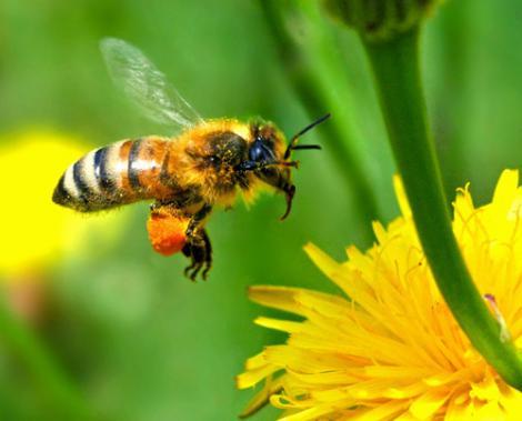 Nu e greu sa fii critic de arta: albinele fac diferenta intre Monet si Picasso