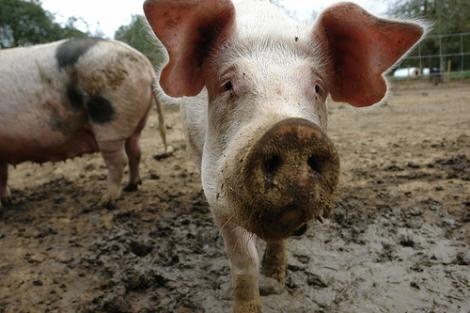 UE: Macelarii nu vor mai avea voie sa ucida animale fara certificate de competenta