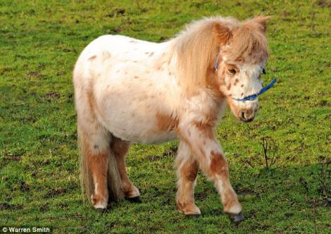 Henry, poneiul care mananca nisip, a avut nevoie de ingrijiri medicale de urgenta. 6.000 de lire au platit stapanii