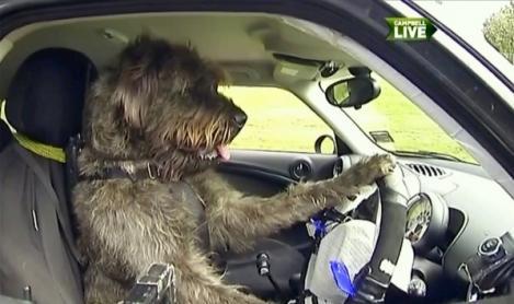 LIKE A BOSS: Un caine din Noua Zeelanda a invatat sa conduca masini!