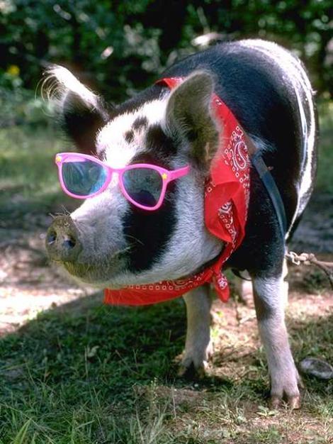 Noi reguli pentru confortul porcilor: fara zgomote puternice, curent si intuneric in zonele de odihna
