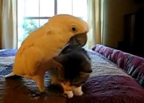 VIDEO! Vezi cum imblanzeste un papagal o pisica!