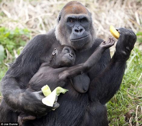 O gorila tafnoasa nu a vrut sa-si imparta banana cu puiul ei