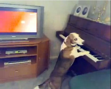 VIDEO! Vezi ce bine canta la pian cainele Runty!