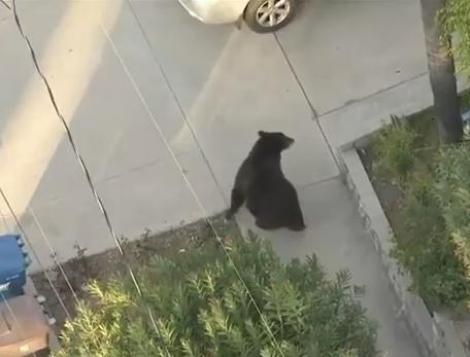 VIDEO! Ce se intampla cand nu esti atent pe strada? Te ciocnesti de un urs